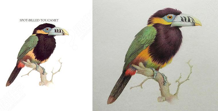彩铅手绘风格鸟类初级入门