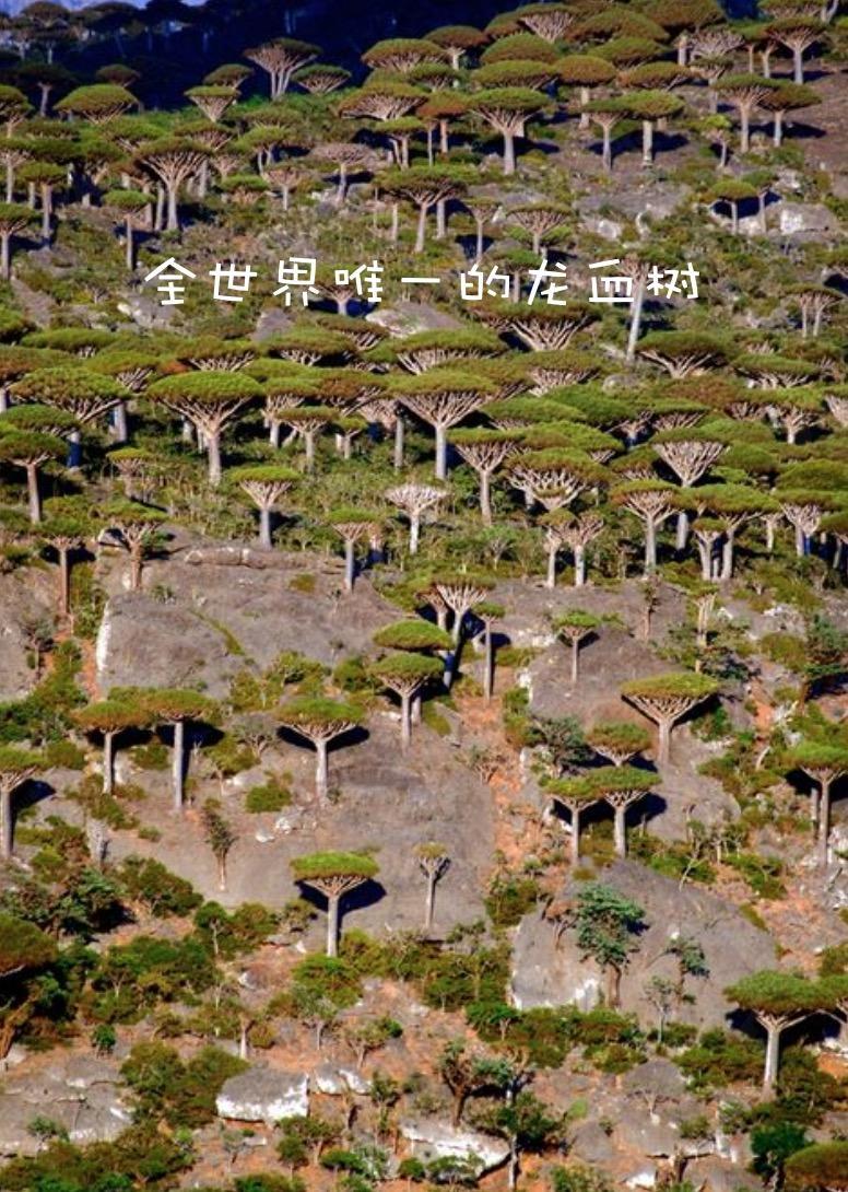 阿拉伯龙血树.png