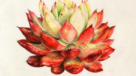 彩铅手绘初级课程——多肉植物02