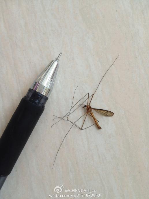 下雨天出现这种 长脚蚊子