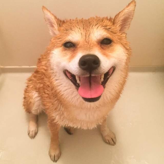 qq头像动物可爱柴犬