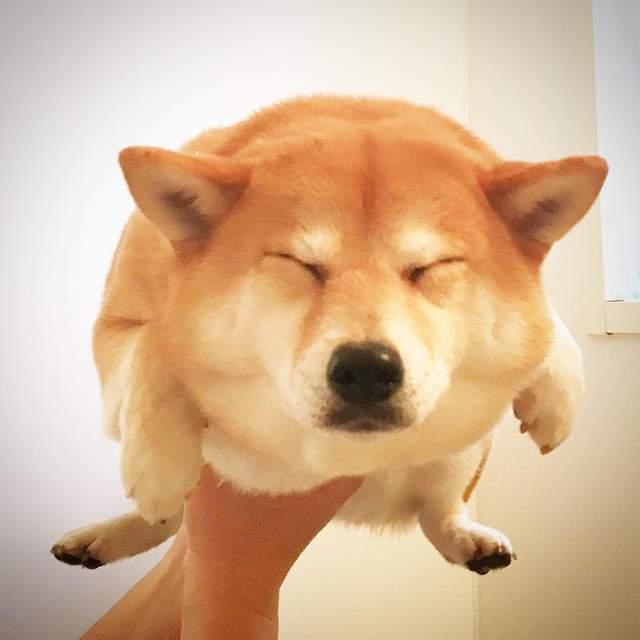"""柴犬空中游泳变""""海龟柴犬"""",超级可爱!"""